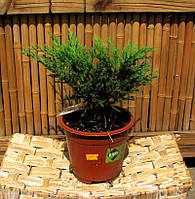 Можжевельник juniperus Andora compact