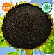 Семена подсолнечника ТЕО под Евро Лайтинг 115 дн., фото 3