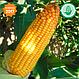 Семена кукурузы  Конкурент (ФАО 250) , фото 3