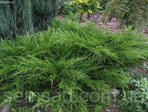 Можжевельник средний Минт Джулеп \ Juniperus chinensis 'Mint Julep' ( С 1.5) саженцы, фото 2