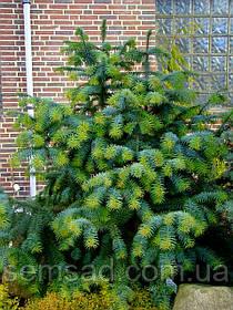 "Ель ""Куннингамия ланцетовидная"" \  Cunninghamia lanceolata ( саженцы 1.5л)"