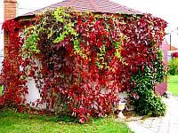 Виноград девичий пятилисточковый (виргинский, лат. Parthenocíssus quinquefolia)