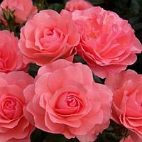 Троянда мініатюрна Лінда