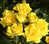 Роза миниатюрная Перестройка
