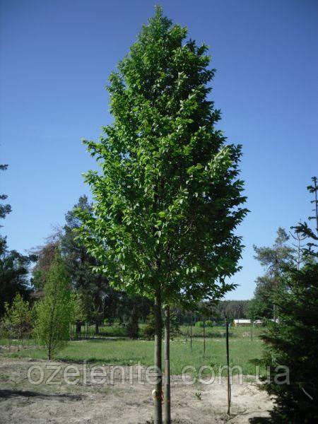 Граб обыкновенный/ Carpinus betulus 5,0-6,0 м