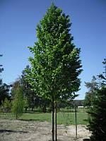 Граб обыкновенный/ Carpinus betulus 5,0-6,0 м, фото 1