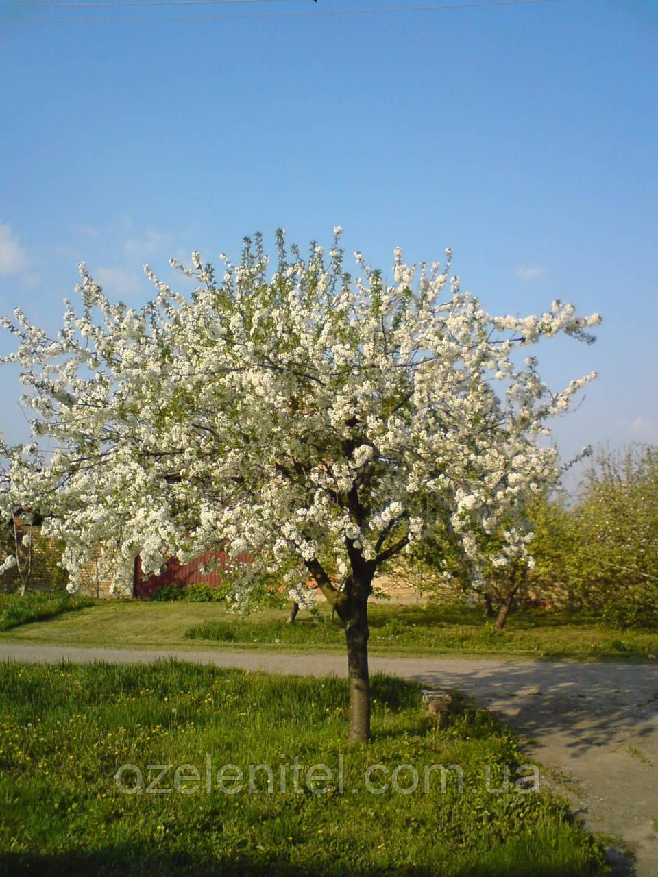 Черемуха  поздняя / Prunus serotina / Черемуха пізня