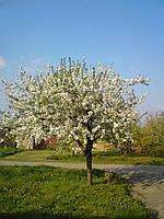 Черемуха  поздняя/ Prunus serotina 2,5-3,0 м