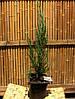 """Можжевельник скальный Juniperus scopulorum """" Blue Arrow"""""""