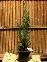 """Можжевельник скальный Juniperus scopulorum """" Blue Arrow"""", фото 1"""