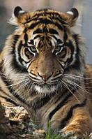 Алмазная вышивка Тигриный взгляд 30 х 40 см (арт. FS583), фото 1