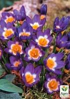 """Мелкий опт! Крокус ботанический """"Sieberi Tricolor"""" 50шт"""
