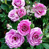 Роза плетистая Climbing Violette Parfumе, фото 2