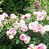 Роза плетистая Eden Rose