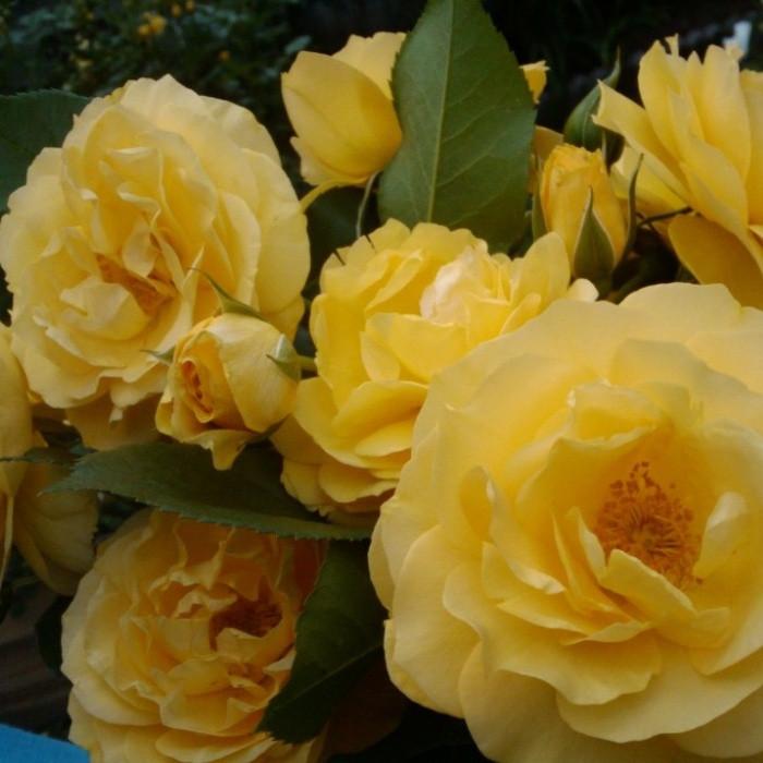 Роза флорибунда Джулия Чайлд