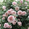 Роза плетистая «New Dawn»