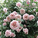 Роза плетистая «New Dawn», фото 2