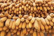 Купить Семена кукурузы Сиско