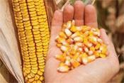 Купить Семена кукурузы НК Кобальт