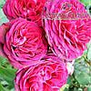 Роза плетистая сорт Pink Musimara