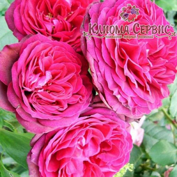 Роза плетистая сорт Pink Musimara - Клиома Сервис™ - питомник ягодных растений в Волынской области