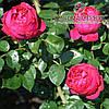 Роза плетистая сорт Red Eden