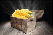Купить Семена кукурузы Фалькон