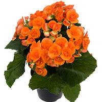Комнатные цветы. Бегония Элатиор Batik