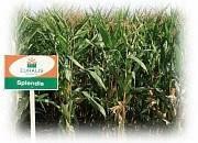 Семена кукурузы Спелндіс