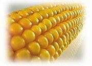Купить Семена кукурузы Ес Бомбастік
