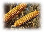 Купить Семена кукурузы ЕС Епілог