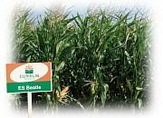 Купить Семена кукурузы ЕС Бітл