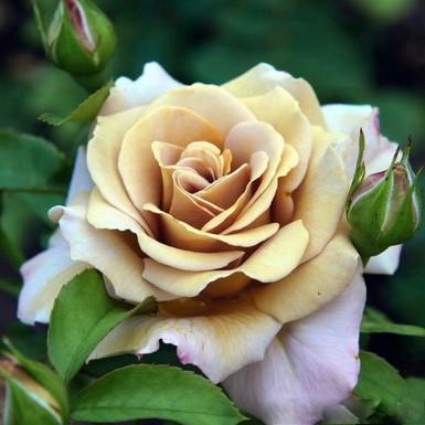 Роза флорибунда Хани Дижон