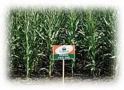 Семена кукурузы ЕС Сігма