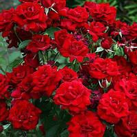 Роза флорибунда Николо Паганини