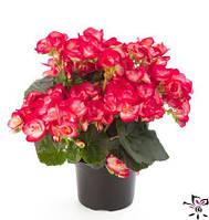 Комнатные цветы. Бегония Элатиор Peggy