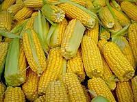 Купить Семена кукурузы ПР38И34 / PR38Y34