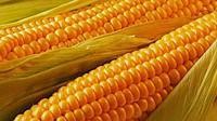 Купить Семена кукурузы ПР39Г83
