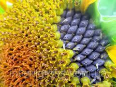 Купить Семена подсолнечника P64LE21