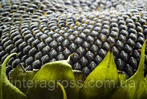 Купить Семена подсолнечника П63ЛЕ10