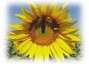 Семена подсолнечника ЕС Бамбіна