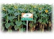 Купить Семена подсолнечника ЕС Петунія