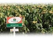 Семена подсолнечника ЕС Пріміс