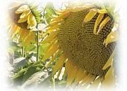 Семена подсолнечника ЕС Терраміс СЛ