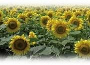 Купить Семена подсолнечника ЕС Флоріміс