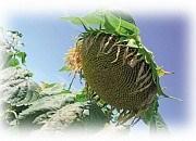 Купить Семена подсолнечника ЕС Белламіс СЛ