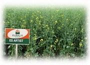 Купить Семена рапса ЕС Артіст
