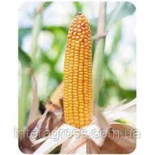 Купить Кукурудза Бейм
