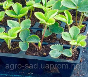 Как вырастить клубнику из семян в домашних условиях 2