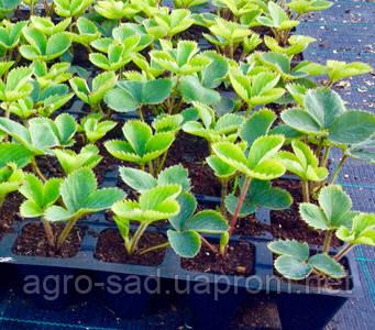Как вырастить клубнику из семян в домашних условиях 8